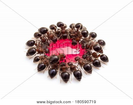Macro image of group of ants (Meranoplus sp.) eating red sweet water drop in the same order look like a flower isolate on white background