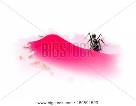 Macro image of different ants sharing red sweet water drop isolate on white background Concept of peace