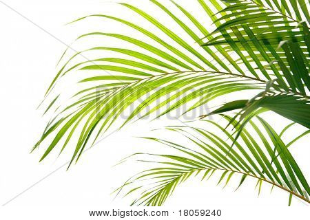 Palm fronds waving in the wind, isolated