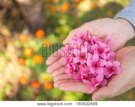 Close up image of pink Wild Himalayan Cherry flowers (Sakura of Thailand) on woman hands with blurred bokeh background Copy Space