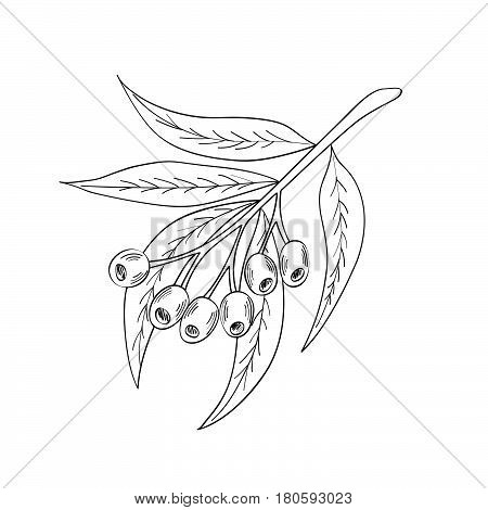 Hand drawn eucalyptus leaves and fruits. Eucalyptus plant branch berry. Sketch illustration isolated on white background. Ingredient for hair and body care cream lotion treatment moisture.