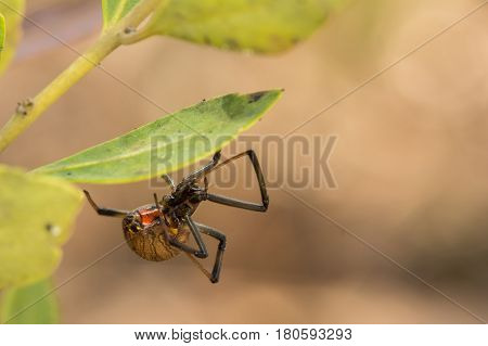 A close up of a Brown Widow Spider