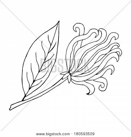 Hand drawn ink illustration of cananga tree - ylang-ylang. Tropical plant ylang flower sketch. Perfumery and cosmetics materials. Good for aromatherapy. isolated on white background.