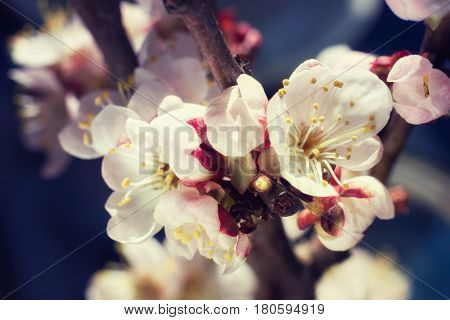 Gentle cherry blossom flowers closeup on dark blue background