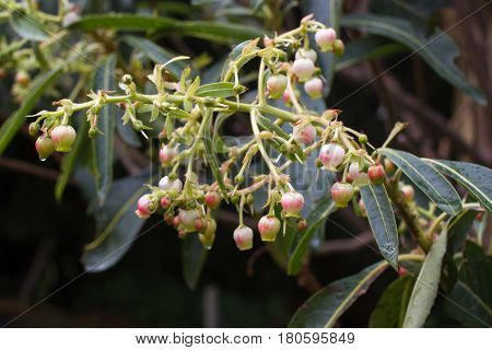 Arbutus unedo. Strawberry tree small white flowers in clusters