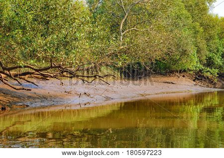 Young mangrove trees in forest Salim Ali Bird Sanctuary Goa India. Boat trip and kayaking in mangrove tunnels.