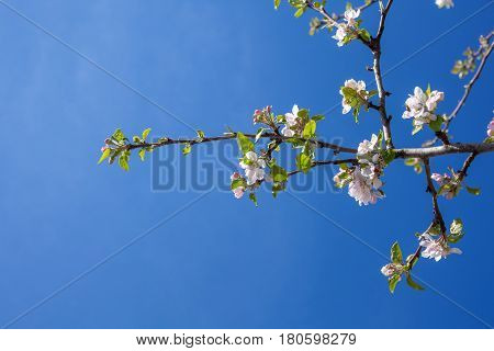 Pink And White Apple Blossom Buds With Background Of Branches