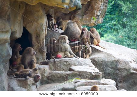 A group of baboon in captivity resting on rocks in the zoo poster