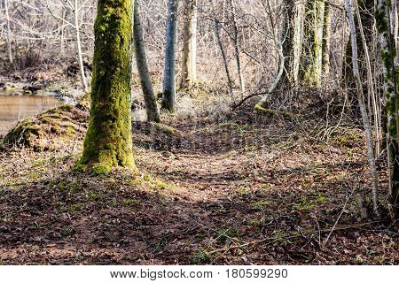 Old Forest With Moss Covered Trees And Rays Of Sun
