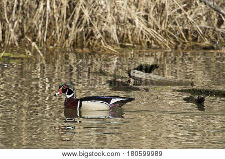 Wood duck swims in the waters of Fernan Lake near Coeur d'Alene Idaho.