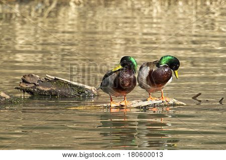 Two male mallard ducks on a piece of wood preening themselve in Fernan Lake in north Idaho.