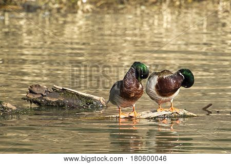 Male mallards preening themselves in Fernan Lake in north Idaho.