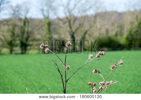 Dead thistles and differential focus against the background