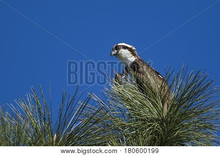An osprey is perched in a tree in north Idaho.