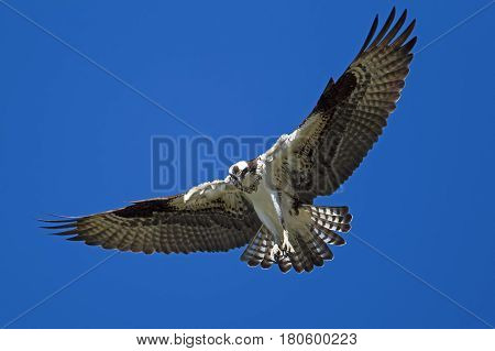 Osprey with wings spread up in the sky over Fernan Lake in Idaho searching for fish.