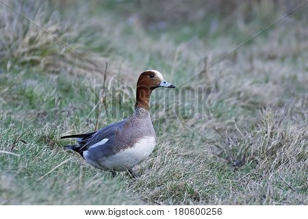 Eurasian wigeon standing on the ground in vegetation