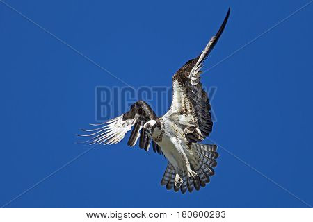 Osprey hovers in the sky over Fernan Lake in Idaho searching for fish.
