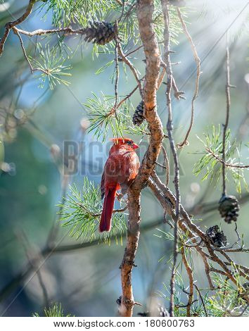 Northern Red Cardinal perched in a pine tree basking in the sunlight on a cold Winter day