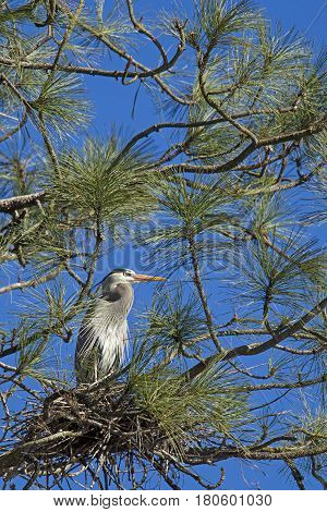 Blue heron perched in a tree in north Idaho protecting the nest.
