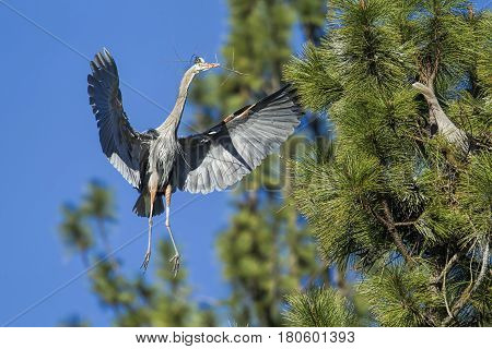 Great blue heron flies in with a branch to build a nest by Fernan Lake in north Idaho.