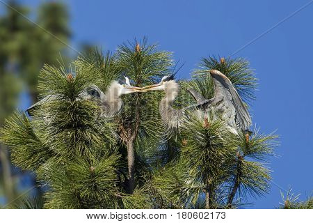 Blue herons interacting with each other by Fernan Lake in north Idaho.