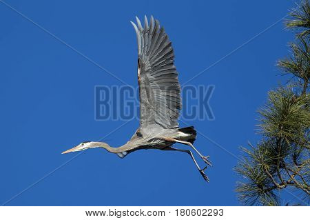 A heron takes off in flight to go find more material for its nest in north Idaho.