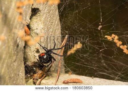 A Black Widow Spider hunting just outside of her retreat.