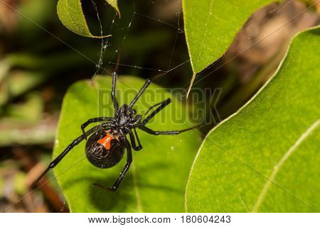 A Black Widow Spider hunting in her web in a small bush.