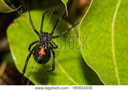 A Black Widow Spider hunting in her web in a small shrub.