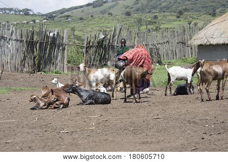 Maasai Woman Millking Goat In Village Of  Ngorongoro Conservationa Area, Tanzania