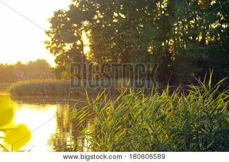 Delightful shining insects over lake reeds during the sunset with forest in background