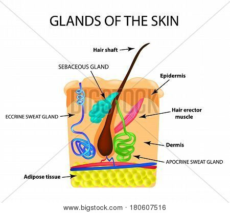 The structure of the hair. Sebaceous gland. Sweat gland. Infographics. Vector illustration on isolated background.