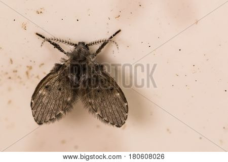 A close up of a Moth Fly in a drain pipe.