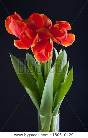 Spring bouquet of red tulips in transparent cylindrical vase with water on black background