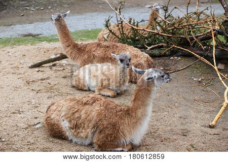 Group of animals Guanaco llama (Lama guanicoe)