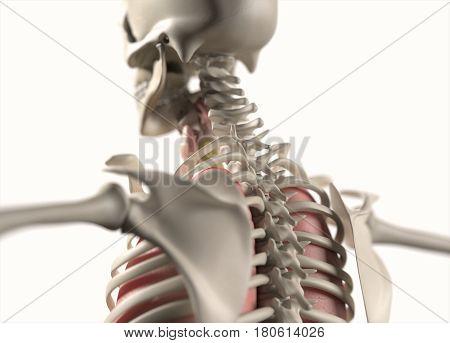 Anatomy body human. Spine, neck and shoulder. Skeletal system. 3d illustration.