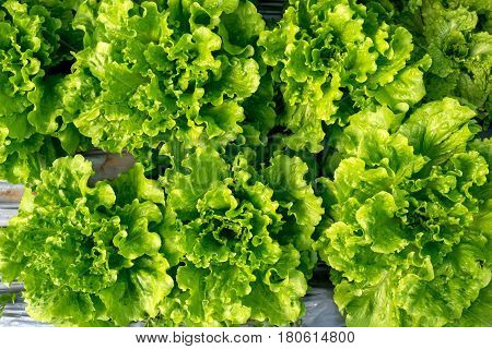 Fresh Lettuce In A Hothouse - Top View