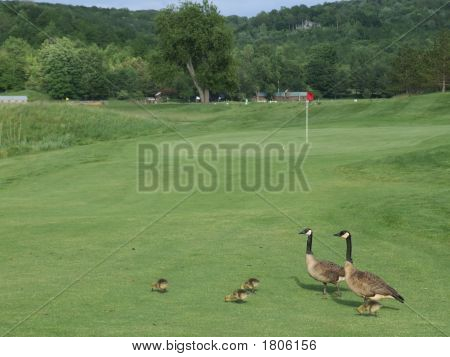 Canada Geese On A Golf Course