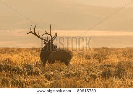 a bull elk bugling during the fall rut at sunrise in Wyoming