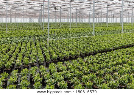 Dutch greenhouse with cultivation of Skimmia plants