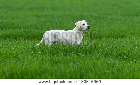 healthy labrador retriever dog puppy stands on a meadow with green grass