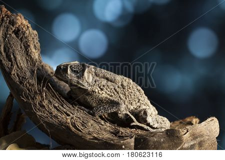 Portrait of a warty asian toad in an old coconut husk