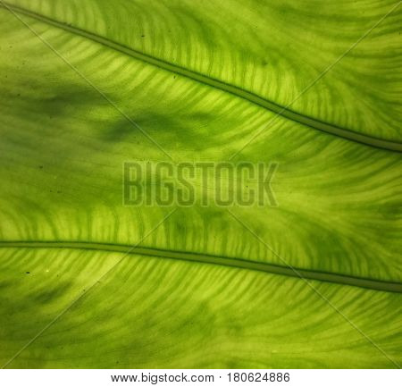 Green and yellow leaf natural background. Fresh summer or spring pattern. Backlight greenery texture. Ecological healthy wallpaper.