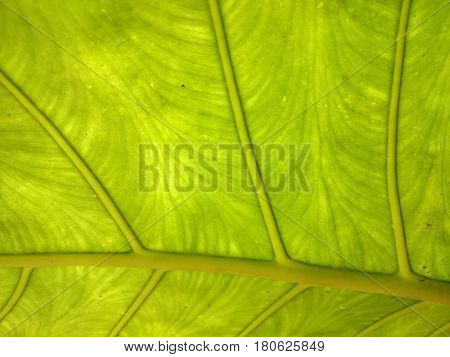 Green And Yellow Leaf Natural Background. Fresh Summer Or Spring Pattern. Backlight Greenery Texture