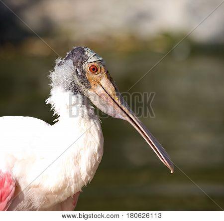 Portrait of Roseate spoonbill - Platalea ajaja