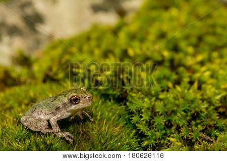 A close up of a Gray Tree Frog Metamorph