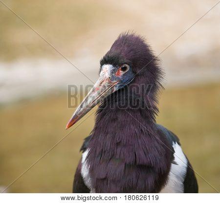 Portrait of Abdim stork - Ciconia abdimii