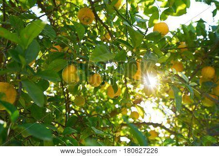 Valencia lemon tree at Turia park gardens view in Spain