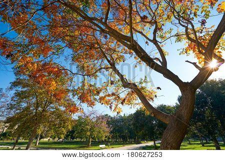 Valencia autumn tree in Turia park gardens view at Spain