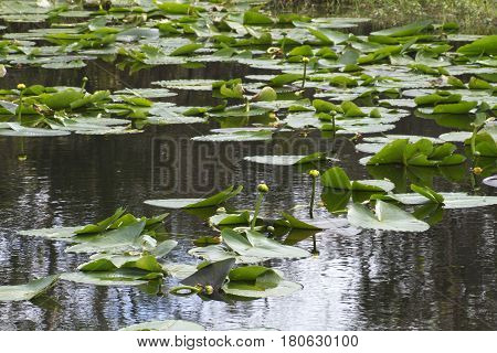 Florida wet lands in winter showing a small lake covered in just starting to bloom yellow flowered water lillies